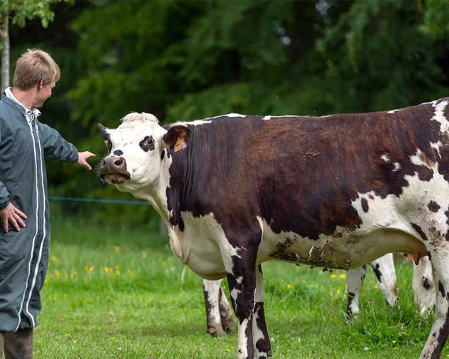 La vache normande libère l'éleveur !